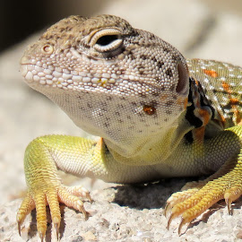 Collard lizard close by Scott Thomas - Animals Reptiles ( #collard lizard close, #nature, #reptile, #closeup, #lizard )