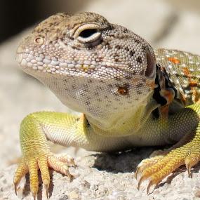 Collard lizard close by Scott Thomas - Animals Reptiles ( #collard lizard close, #nature, #reptile, #closeup, #lizard,  )