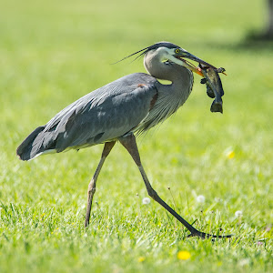 walking catfish heron blk NWM.jpg