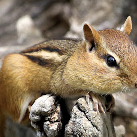 Sunday's Best 29 by Terry Saxby - Animals Other Mammals ( canada, terry, chipmunk, goderich, ontario, saxby, nancy )