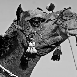 camel  by Mohsin Raza - Black & White Animals (  )