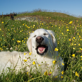 Buttercups by Beth Alexander - Animals - Dogs Portraits