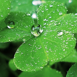 Clover drops  by Hayley Moortele - Nature Up Close Natural Waterdrops ( #droplets, #nature, #leaves, #green, #clover, #waterdrops, #macro, #raindrops, #natureupclose )