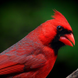 Male Kentucky Cardinal  by Paul Mays - Animals Birds