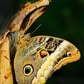 Morpho en sommeil by Gérard CHATENET - Animals Insects & Spiders