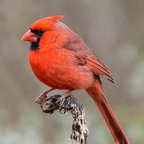 Perfect Pose by Sandy Hurwitz - Animals Birds