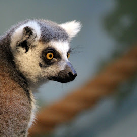 Lemur Stare by Kathryn Fenton - Animals Other Mammals ( stare, ring tailed, lemur, cute, monkey )