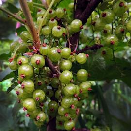 green currant by LADOCKi Elvira - Nature Up Close Gardens & Produce ( nature )