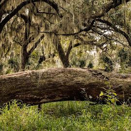 Fallen Tree by George Nichols - Landscapes Forests ( tree, fallen, oak, florida, moss )