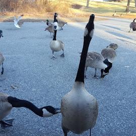 Goose Him by Michelle Johnston - City,  Street & Park  City Parks ( park )