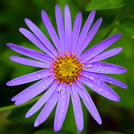 Aster by Gérard CHATENET - Flowers Single Flower