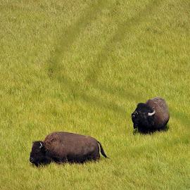 The Amorous Bull  by Dan Kinghorn - Animals Other ( yellowston, buffalo breading season, buffalo, bison, yellowstone bison )