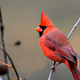 Male Cardinal by Ruth Overmyer - Animals Birds (  )