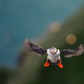 200m above sealevel by Frode Wendelbo - Animals Birds ( seabirds, nature, wildlife, birds, runde, puffin, norway, wild birds )