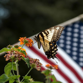 Standing For Our Nation by Janice Mcgregor - Animals Other ( butterfly, flag, america, outdoors, summer, insects, spring, swallowtail, nation, outside,  )