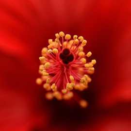 Hybiscus by Vasanth Photographer - Flowers Single Flower ( red, macro, close up, hybiscus, flower,  )
