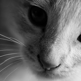 Whiskers by Juli Paul - Animals - Cats Kittens ( kitten, cat, whiskers, cute, nose, eyes )