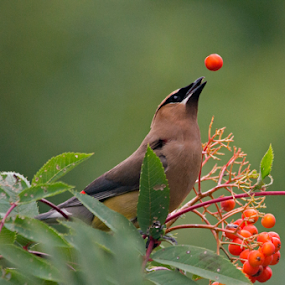 Cedar Waxwing Playing with Berries by Gary Amendola - Animals Birds ( bird, ash tree, cedar, berries, waxwing )