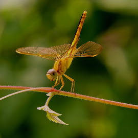 Dragonfly by SANGEETA MENA  - Animals Insects & Spiders
