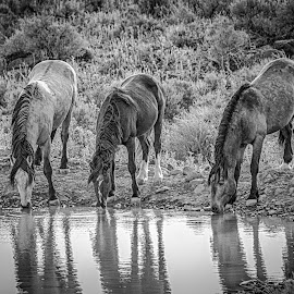 Watering Hole by Jim Shafer - Animals Horses ( jim berryman-shafer, colts, stallions, mustangs, watering hole, western images, wild horses )