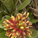 unknown bromeliad