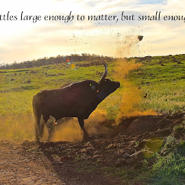 Choose Your Battles by Kathy Suttles - Typography Quotes & Sentences ( longhorn, mad, threatening, bull, throwing dirt )