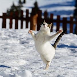 Bitch Please I'm Fabulous by Sergiu Pescarus - Animals - Cats Portraits ( cats, dancing, cat, winter, funny cat, snow, cat portrait, cat jumping, cat in snow, dance, fabulous, cat playing )