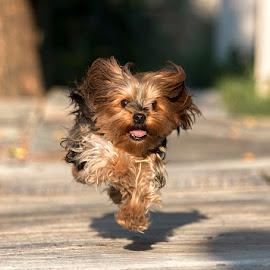Not running, flying! by Sergio Yorick - Animals - Dogs Running ( playing, color, dog, running, animal )