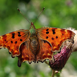 Beautiful Butterfly by Chrissie Barrow - Animals Insects & Spiders ( butterfly, wild, comma, thistle, thorax, british, abdomen, antennae, head, insect, bokeh, winga, animal )