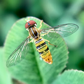 Sweat Bee by Amanda  Castleman  - Instagram & Mobile iPhone ( macro, nature, bee, insect, animal )