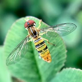 Sweat Bee by Amanda  Castleman  - Instagram & Mobile iPhone ( macro, nature, bee, insect, animal,  )