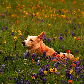 In the Wildflowers by Brenda Shoemake - Animals - Dogs Portraits