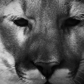 Cougar stare  by John Ireland - Animals Lions, Tigers & Big Cats