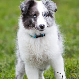 What is that? by Peter Grutter - Animals - Dogs Puppies ( dogs, bi-blue, shetland sheepdog, puppy, sheltie )