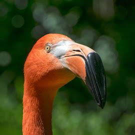 Flamingo Portrait by Timothy Crane - Novices Only Wildlife ( zooo, flamingo, wildlife, pittburgh, birds )