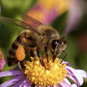 by Lian van den Heever - Animals Insects & Spiders ( aloe, african honey bee, blue, stimen, yellow,  )
