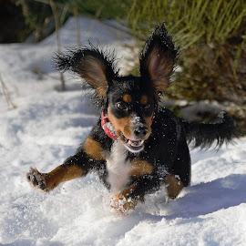 Luna by Faillie Photos - Animals - Dogs Running ( dog running, pet, funny, dog, running )