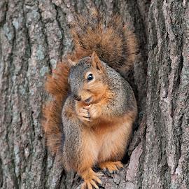 Squirrel by Kathleen Otto - Animals Other (  )