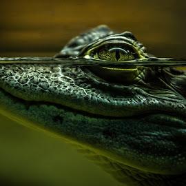Predator by Samuk Domingues - Animals Reptiles ( water, crocodile, alligator, reptile, eyes,  )