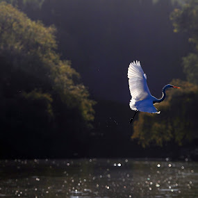 Great Egret flying by Cristobal Garciaferro Rubio - Animals Birds ( water, flying, fly, wings, trees, egret, great egret )