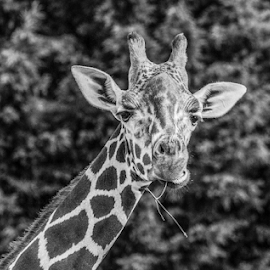Giraffe by Garry Chisholm - Black & White Animals ( mammal, nature, giraffe, garry chisholm, canon )
