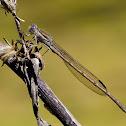 Caballito del diablo (Common winter damselfly)