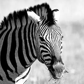 Zebra at Etosha. by Lorraine Bettex - Black & White Animals (  )