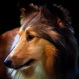 Summer Sideways by Bill Kenny - Animals - Dogs Portraits ( low key, color, dog, sheltie, portrait )