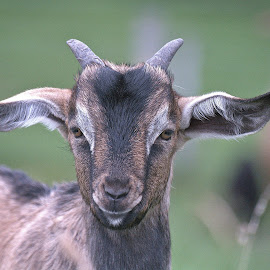 Bandit by Faillie Photos - Animals Other ( goat, pet, animal )