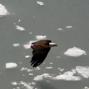 Eagle and Ice by Jason Kiefer - Animals Birds