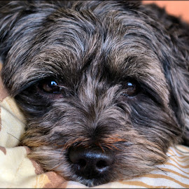 tired ruby by Nic Scott - Animals - Dogs Portraits ( sleepy, yorkiepoo, dog )