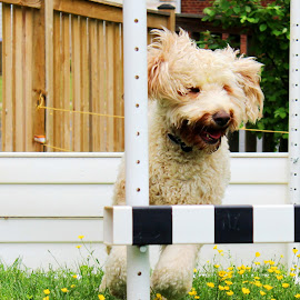 Buddy by Cecilia Sterling - Animals - Dogs Running ( dog jumping, puppy, goldendoodle, dog, agility )