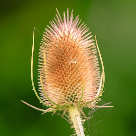 Comb by Darrell Evans - Nature Up Close Other plants ( plant, spikes, autumnal, flora, teazel, thorn, teasel, leaves, comb, dipsacus, dried, prickly, stalk, caprifoliaceae, head )