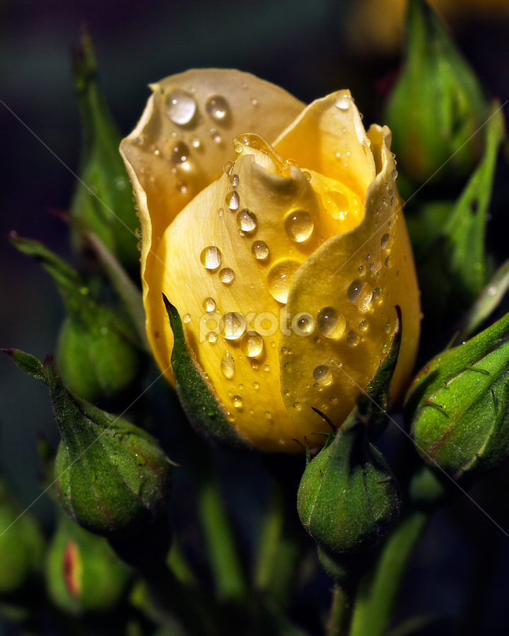 Patio rose by Peter Greenhalgh - Nature Up Close Flowers - 2011-2013 ( water, rose, raindrops, yellow, rain, flower )